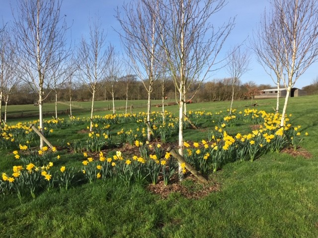 Daffodils & Silver Birch Trees in Spring